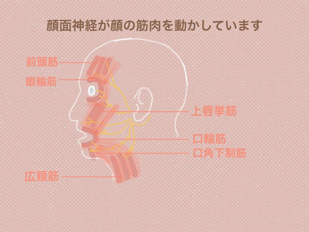 顔面神経 筋肉