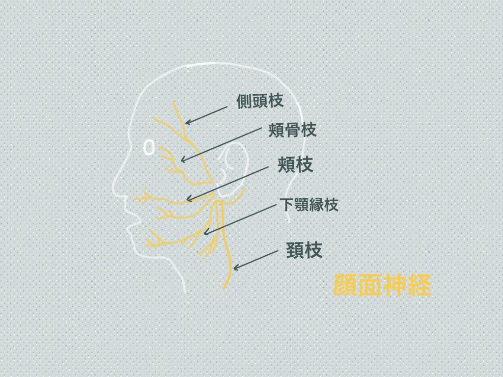 顔面神経 枝
